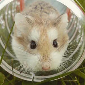 haustiere hamster