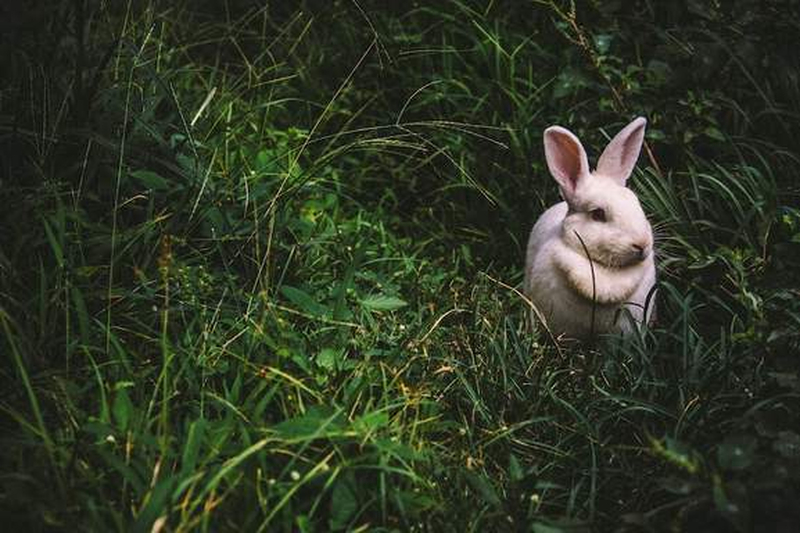 weißer Hase sitzt inmitten eines saftig-grünen Rasens
