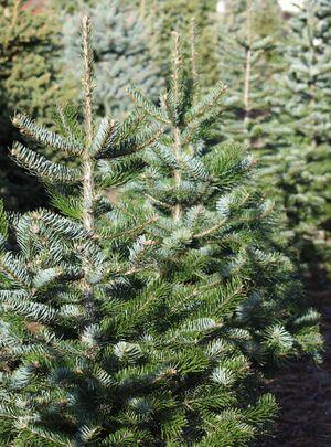 Weihnachtsbaeume Tannenbaum