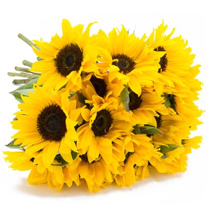 23 Sonnenblumen, 50cm lang für 19,94€ inklusive VSK bei [Blume Ideal]