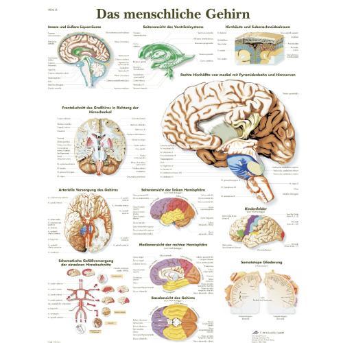"""[Für Medizin-Studenten] Poster """"Das menschliche Gehirn"""""""