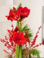 MIFLORA: Amaryllis Adventsdeko für 13,80€ statt 22,80€