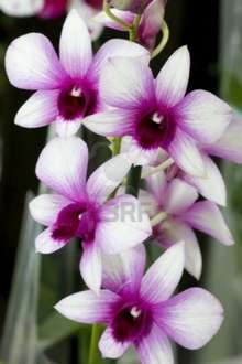 Dendrobium Orchidee für 5,81€  incl Partnercard bei Stewes Wesel