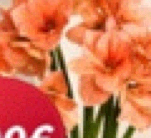 Miflora 8 Amaryllis 9,99€ statt 27,99€