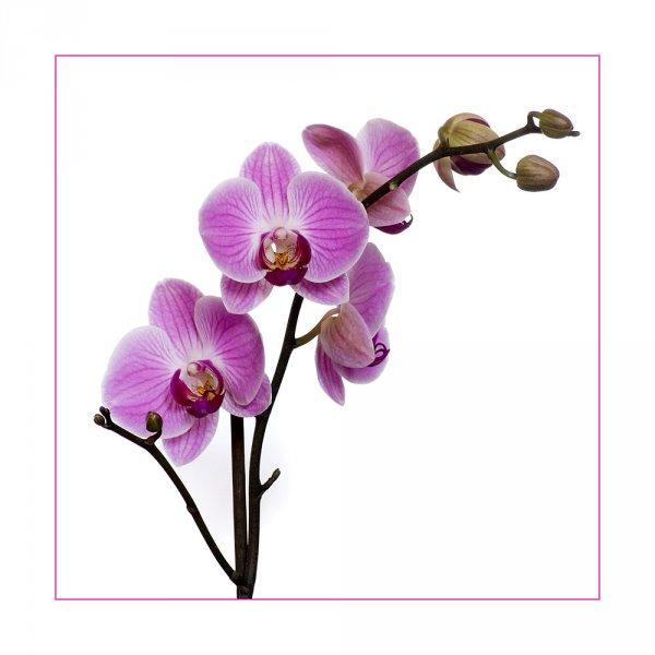 [Offline] Schmetterlingsorchidee mit 2 Rispen bei LIDL