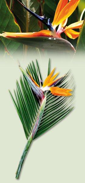 Paradiesvogelblume (Strelitzia mit Roebelinii) für 1,99€ bei Norma Lebensmittel Discounter