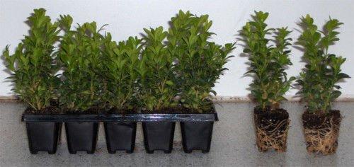 [Garten-Deal] 50 - 200 Buchsbäume 19-45 Euro, Kirschlorbeer pro Stück 1 Euro
