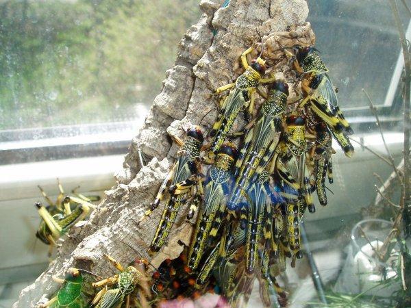 100 Bio-Wüstenheuschrecken mittelgroß lebend 16,99 EUR inkl. Versand @ ebay
