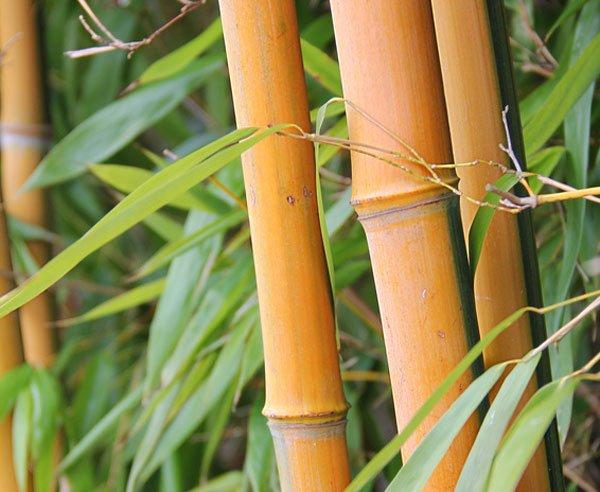 [HANAU] Kostenloser Bambus zum selbst-stechen für Euren Garten