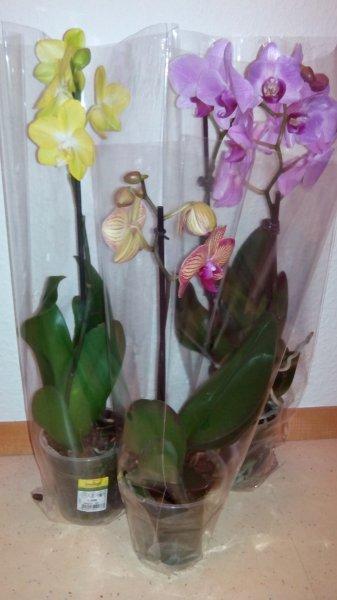 [Ulm] Hornbach Neueröffnung Orchideen Phalaenopsis 1,99/Stück