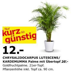 IKEA Palme ca. 90 cm mit Übertopf nur 12.- Euro
