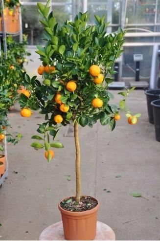 Palmenmann.de | Zwergorange - Calamondine, Citrus mitis | 20,00€ + 6,90 VSK | Max.3 Stück / Bestellung