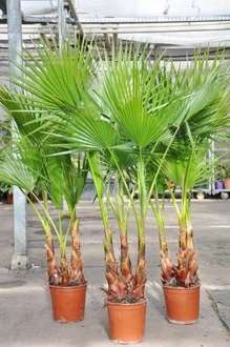 Palmenmann.de | Petticoat-Palme - Washingtonia robusta | 15,00€ + 6,90 VSK | Max.3 Stück / Bestellung