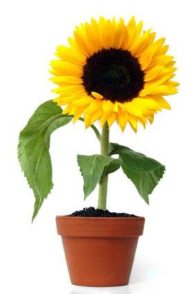 kostenlose Sonnenblumensamen von MDR Jump