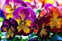 [Mainz] Gratis Blumen(Stiefmütterchen) zum selber auspflanzen Volkspark