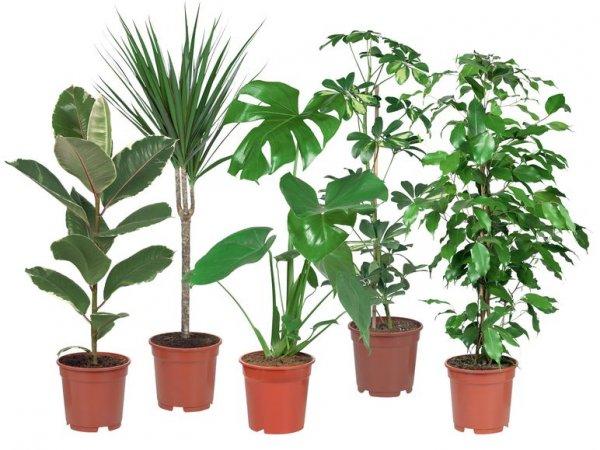 (Lidl bundesweit) - diverse Grünpflanzen, 80 cm hoch, ab 25. 6. 2015 für 3,99 Euro