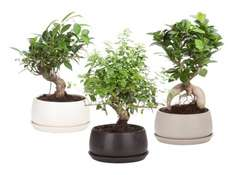 Bonsai in Keramikschale für 8,99 € am 29.10.2015 in der Filiale bei Lidl