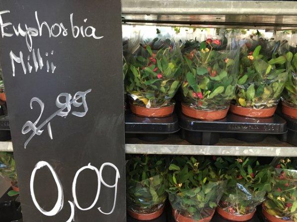 IKEA HH Moorfleet - Euphorbia Milli (Christusdorn)