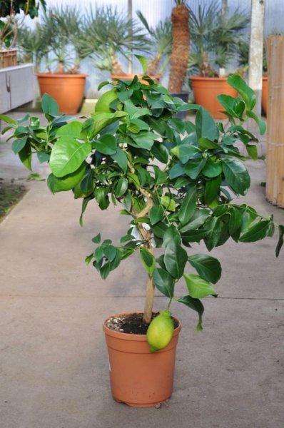 [Palmenmann.de] Zitronenbaum aus Italien für 26,90 Euro (20,00 + VK 6,90)