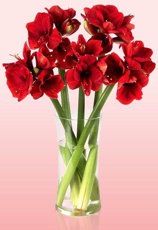 5 Classic Red Amaryllis für 15,90€ @ Miflora
