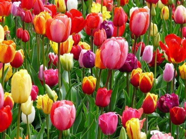 [Lokal Oldenburg - Schloßhöfe] Gratis Tulpen am Samstag 13.02.