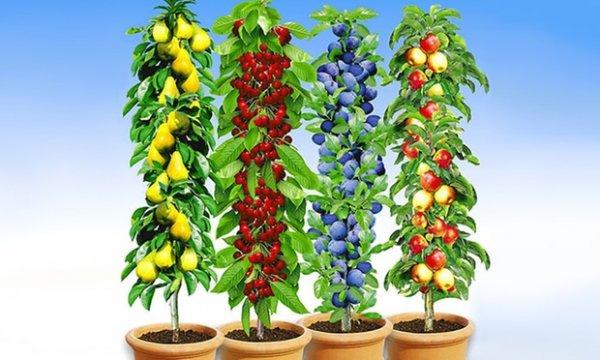 (Groupon) Säulenobst : Kirsche, Apfel, Birne, Pflaume