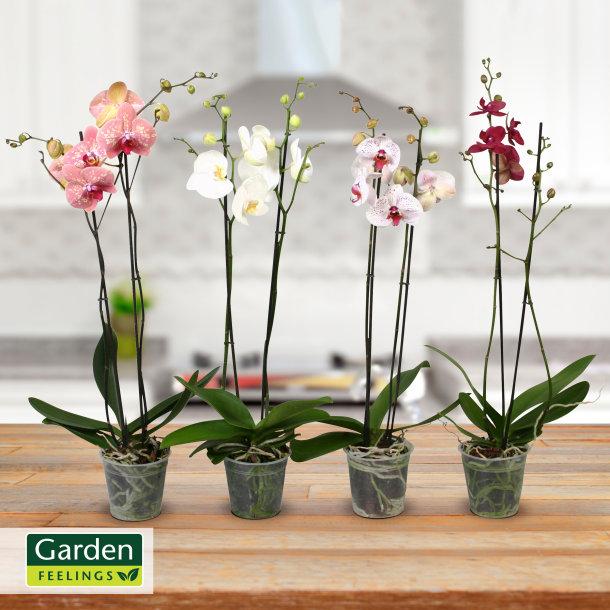 Aldi Nord - Orchideen verschiedene Sorten 5,99 € ab 22.09.2016
