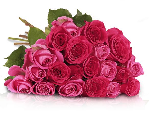 20 rosa-pinke Rosen in 50cm Länge für 19,90€ inkl VSK @Miflora