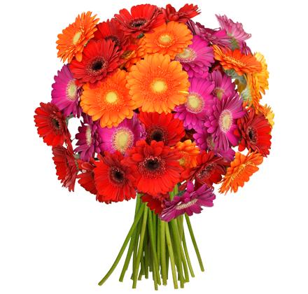 [Blume Ideal] 33 Gerbera | 19,94 Euro inkl. Versand