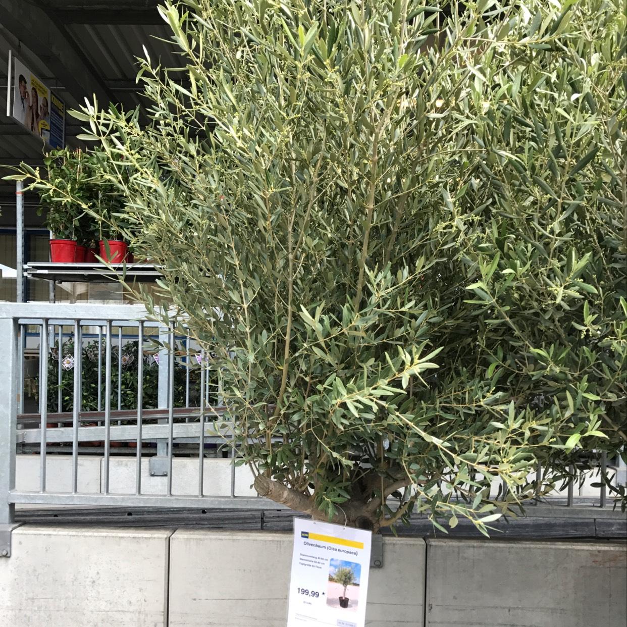 Olivenbaum 2,5-3M Hoch , 60cm Umfang METRO Nürnberg