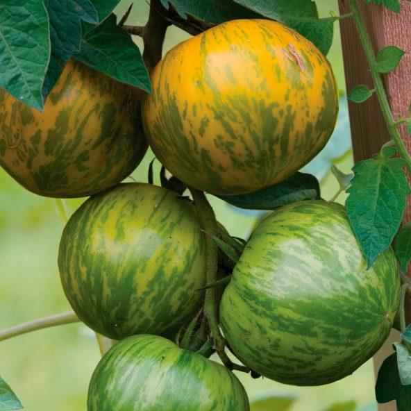 Aldi Nord ab 4.5. Historische Tomaten (6 Pflanzen, 6 Sorten)