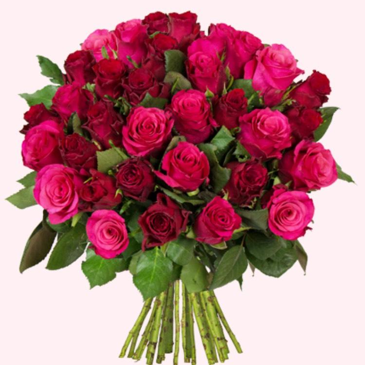 Blume Ideal 41 Rosen  Pink&Rot