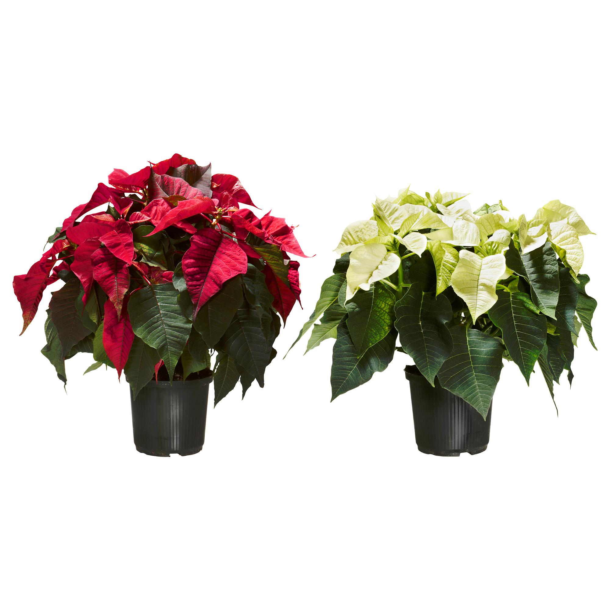 [IKEA bis 12.11.] Weihnachtsstern zum Aktionspreis