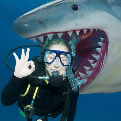 Der weiße Hai (Länge: 6,3 Meter)