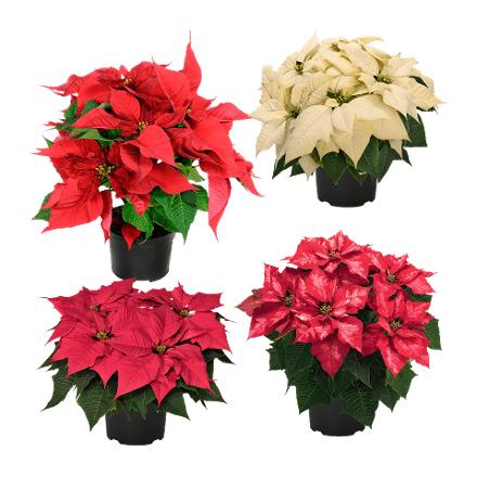 [Aldi Nord] Weihnachtsstern, verschiedene Farben für 1,39 € ab 09.11 (Do)