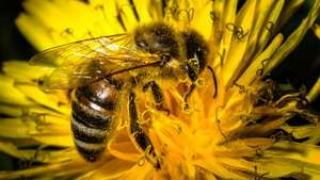 kostenlos Bienenpflanzenlexikon + Bienenratgeber + Bienenwiesensaat