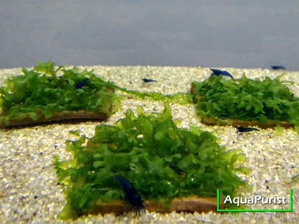 Süßwassertang auf Pad 5x5 cm fürs Aquarium (Lomariopsis)