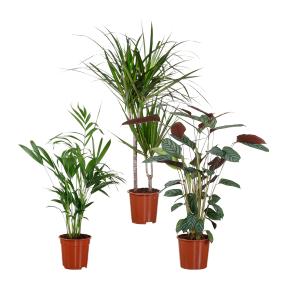 [Aldi Nord] diverse Grünpflanzen für 3,99€ im 15-/17-cm-Kulturtopf;. 80/100 cm hoch
