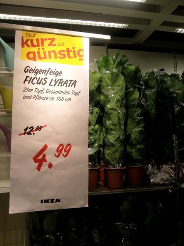 [LOKAL: IKEA] Zimmerpflanze Geigenfeige (Ficus Lyrata) für 4,99€