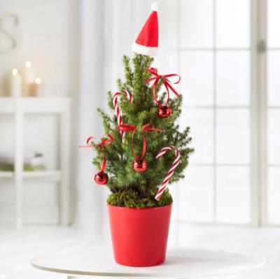 15% Rabatt auf alles ab 19,99€ bei Blume2000.de, z.B. Zuckerhutfichte Loved by Santa mit Schmuck-Set und Übertopf