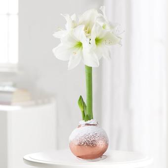 30% Rabatt auf ausgewählte Weihnachtsblumen bei Blume2000.de, z.B. Amaryllis No-Water in Weiß mit Wachs in Roségold