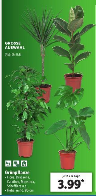 [Lidl offline] Grünpflanzen / Zimmerpflanzen ab 3.1.19