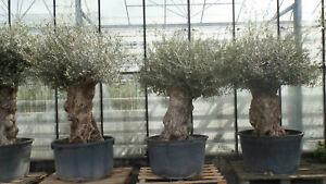 Uriger, alter Olivenbaum, knorrige Olive 80 - 100 Jahre alt, winterhart | inkl Versand