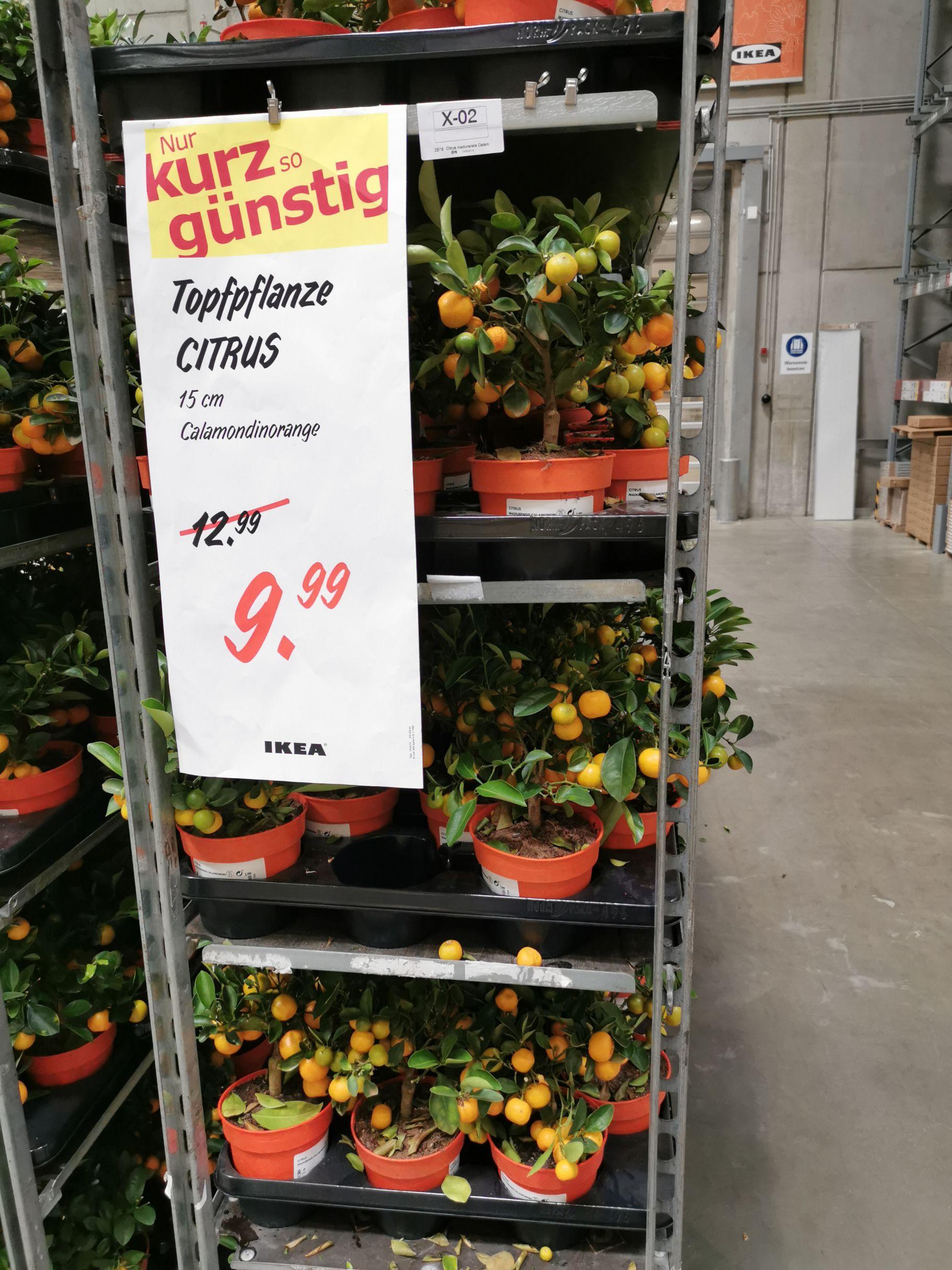 Ikea CITRUS Topfpflanzen 15 cm 9,99€