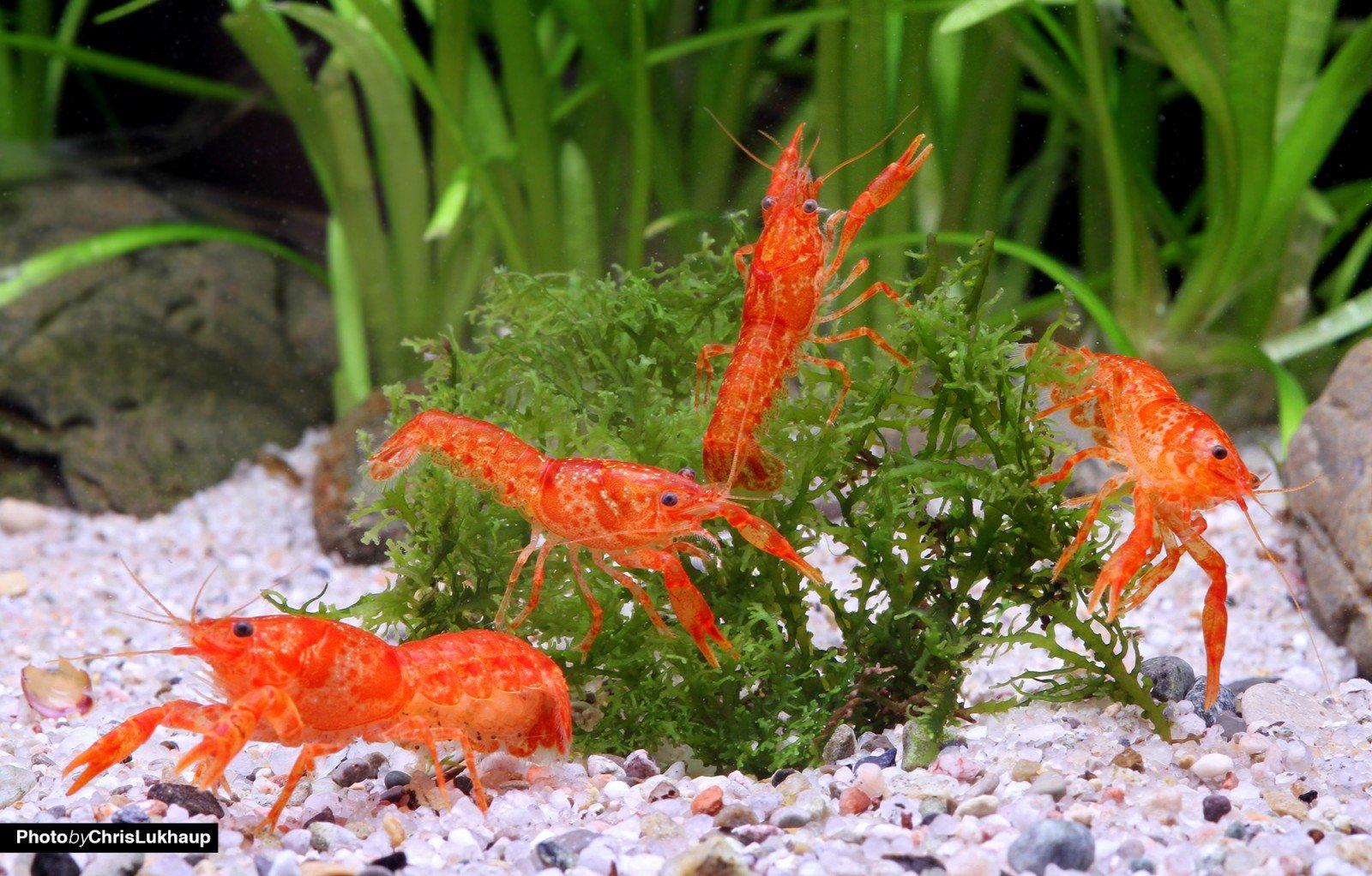[Garnelio] Oranger Zwergflusskrebs - CPO - Cambarellus patzcuarensis -