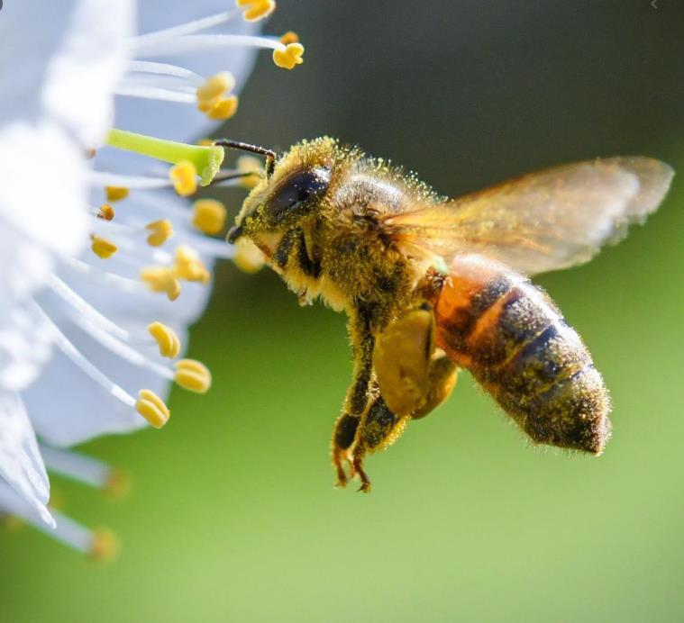 Quedlinburger Saatgut: Bienen und Hummelmagnet für 100 m²