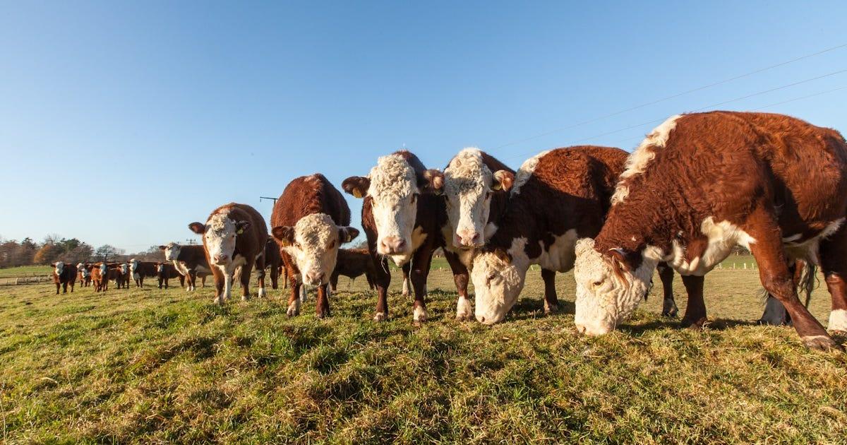 4,5kg Rindfleisch von Hereford Rindern aus Schleswig Holstein (nose to tail Konzept)