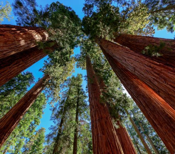 Riesenmammutbaum: 3 Liter Topfware / Wuchshöhe 50+cm