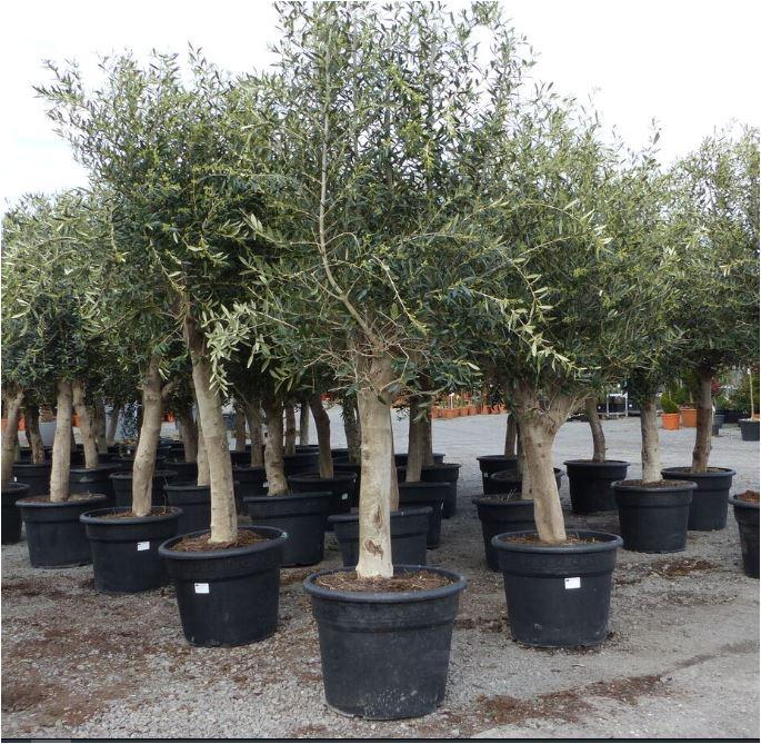 Winterharter Olivenbaum 230-260 cm mit buschiger Krone für 199 Euro [Ebay]