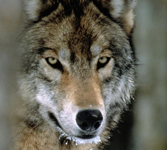 Dokumentation: Radioaktive Wölfe - Kostenlos im Stream
